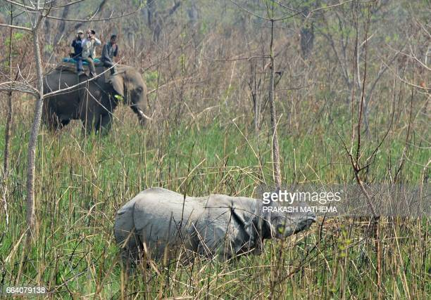 Nepalese veterinary and technical team prepare to dart a rhino in Chitwan National Park some 250 kms south of Kathmandu on April 3 2017...