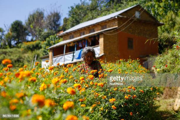 A Nepalese woman picks marigold flower to sell in the market for the Tihar festival of lights and flower in Kathmandu Nepal on October 18 2017...