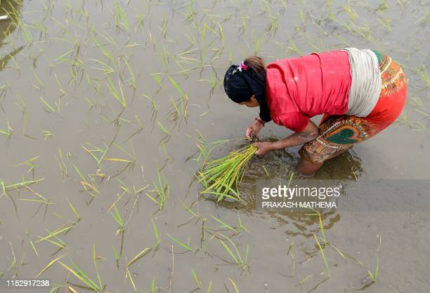 A Nepali farmer plants rice in a paddy field to mark National Paddy Day which celebrates the start of the annual rice planting season in Pokhara on...