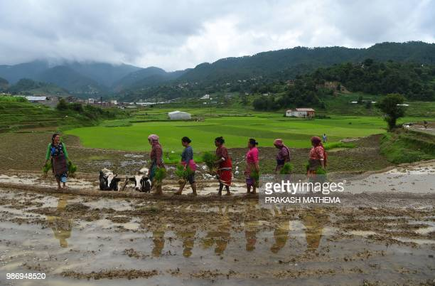 Nepali farmers carry paddy seedlings in a rice paddy field during National Paddy Day in Lele village on the outskirts of Kathmandu on June 29 2018...