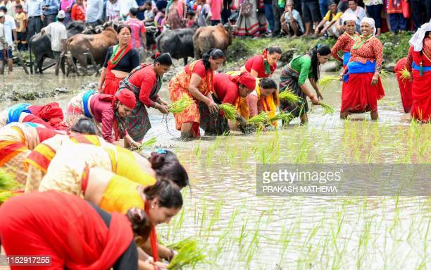 Nepali farmers plant rice in a paddy field to mark National Paddy Day which celebrates the start of the annual rice planting season in Pokhara on...