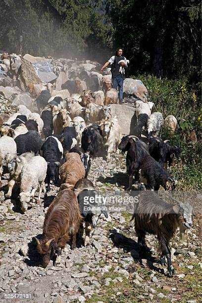 A Nepali Man Herds A Flock Of Goats On The Annapurna Circuit In Manang District Nepal Himalaya