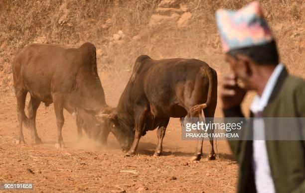 A Nepali man looks at a bullfight during the Maghesangranti festival at Taraka village in Nuwakot district some 80 km from Kathmandu on January 15...