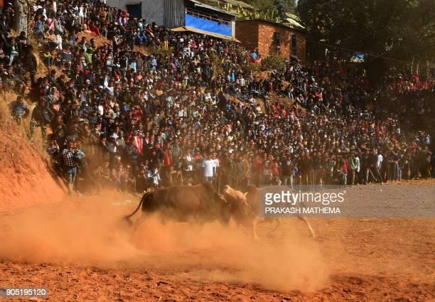Nepali residents watch a bullfight during the Maghesangranti festival at Taraka village in Nuwakot district some 80 km from Kathmandu on January 15...