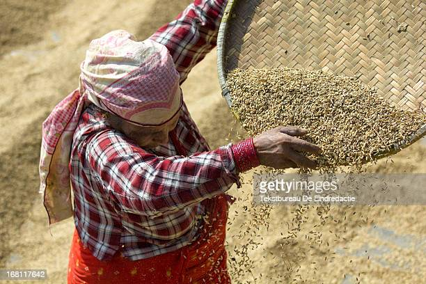 CONTENT] Nepali woman with headscarf sifting wheat in the sun during harvest time Bhaktapur Kathmandu Nepal
