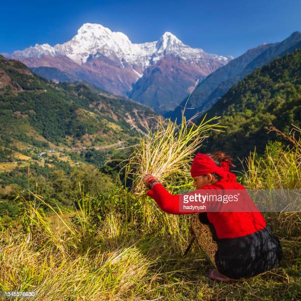 nepali young woman cutting a grass in her village, annapurna range on background - annapurna south stock pictures, royalty-free photos & images