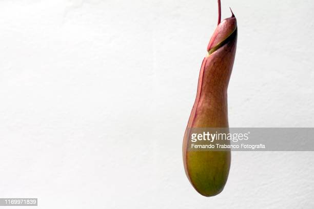 nepenthes, carnivorous plant with penis shape - carnivorous stock pictures, royalty-free photos & images