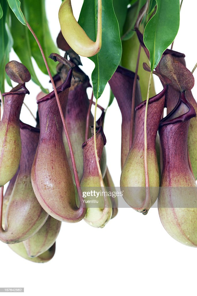 Nepenthes (pitcher plant) : Stock Photo