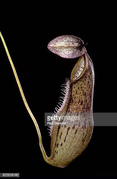 nepenthes rhombicaulis (pitcher plant) - carnivorous stock pictures, royalty-free photos & images