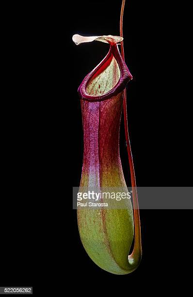 nepenthes x ventrata (pitcher plant) - carnivorous stock pictures, royalty-free photos & images