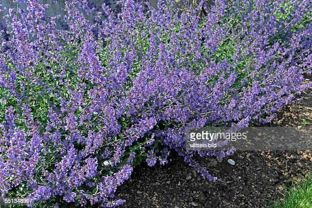 Nepeta oder Katzenminze mit lavendelblauen Roehrenblueten im sommerlichen Staudenbeet