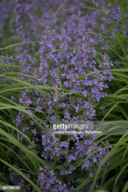 nepeta racemosa 'walker's low' - catmint stock pictures, royalty-free photos & images