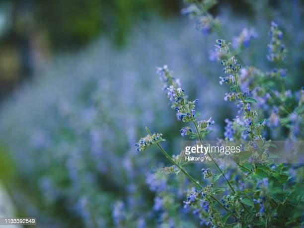 nepeta six hills giant - catmint stock pictures, royalty-free photos & images