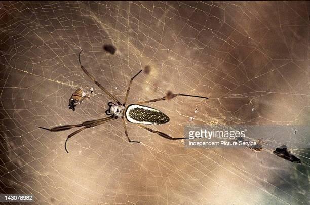 Nephila Spider and Spider Web Venezuela