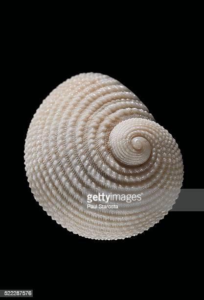 neritopsis radula - seashell stock pictures, royalty-free photos & images