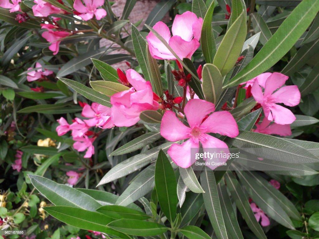 Nerium Nerium Oleander Flowers In Bloom In Pink Color Stock Photo