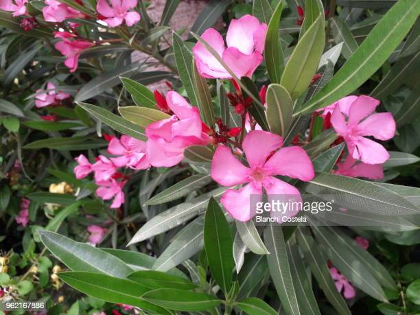1 915 Oleander Photos And Premium High Res Pictures Getty Images