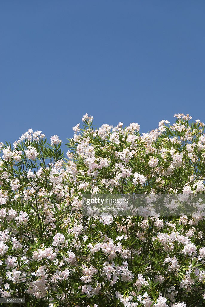 Nerium Oleander : Stock Photo