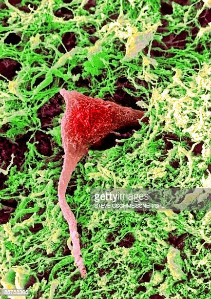 nerve cell , sem - sem stock pictures, royalty-free photos & images