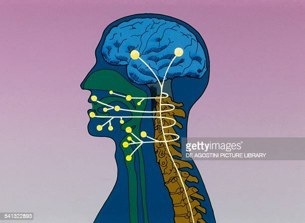 Nerve connection between brain and vocal apparatus drawing