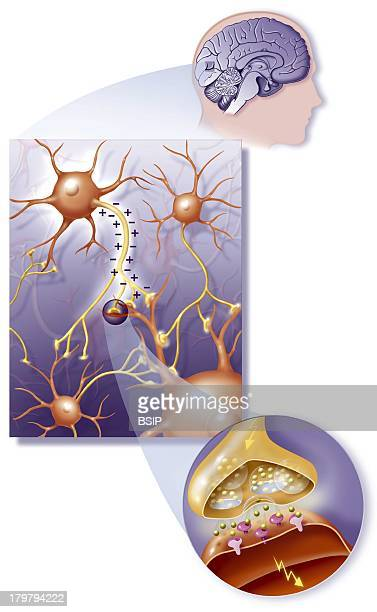 Nerve Impulse Drawing Showing The Transmission Of Nerve Impulses In The Brain From One Neuron To Another CloseUp On A Synapse Transmitting From...