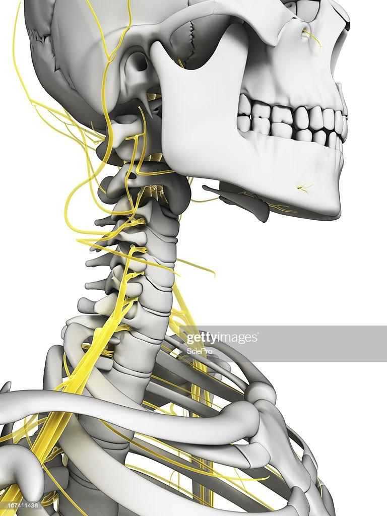 Nerven am Nacken : Stock-Foto