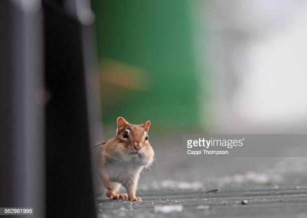 Nervous looking chipmunk