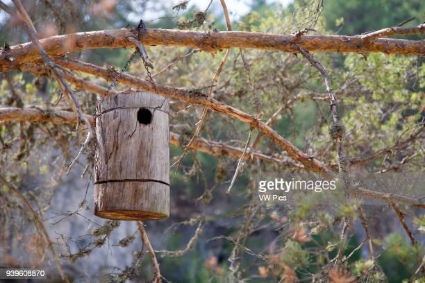 Nest box hanging in a conifer tree Parque Natural del Ca–on del Rio Lobos
