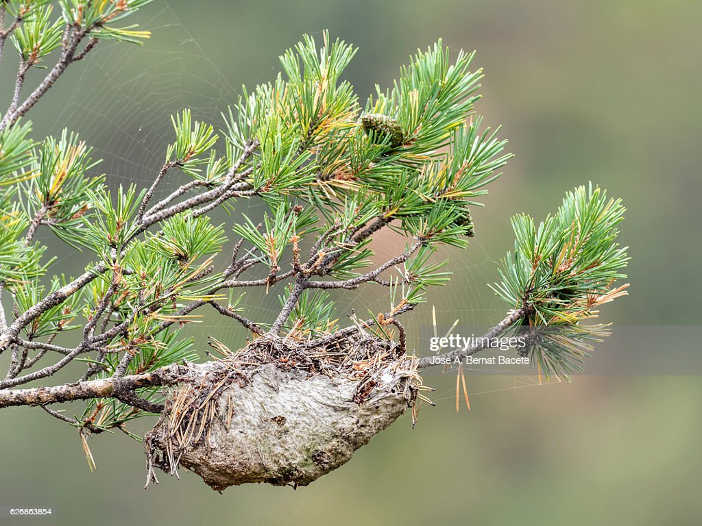 Nest in a tree of  Pine processionary caterpillar : Stock Photo