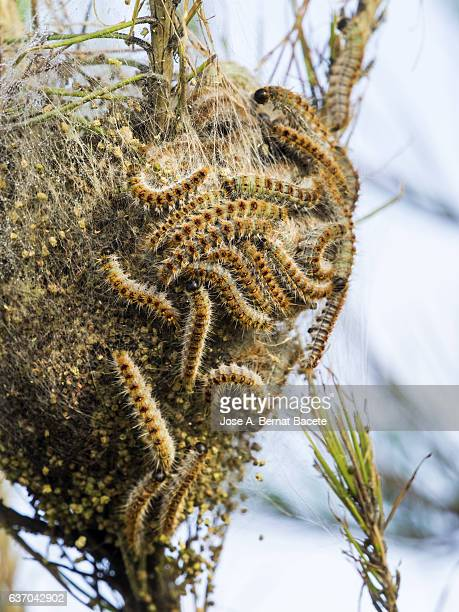 Nest in a tree of  Pine processionary caterpillar