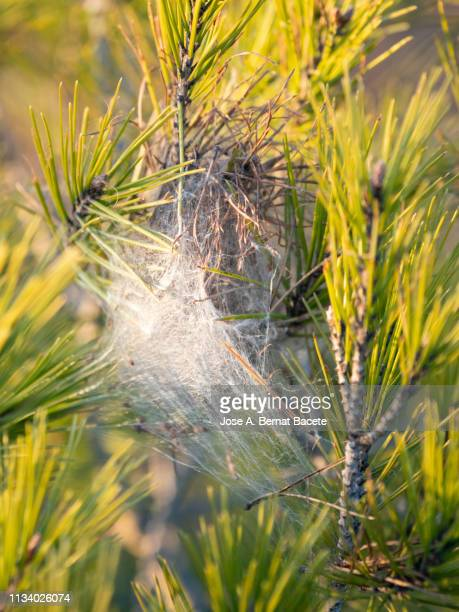 Nest in a tree of Pine processionary caterpillar. Pine Processionary (Thaumetopoea pityocampa).