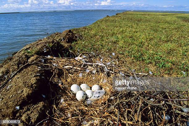 nest of a rough-legged buzzard -buteo lagopus-, taymyr peninsula, northern siberia, russia, asia - taymyr peninsula stock pictures, royalty-free photos & images