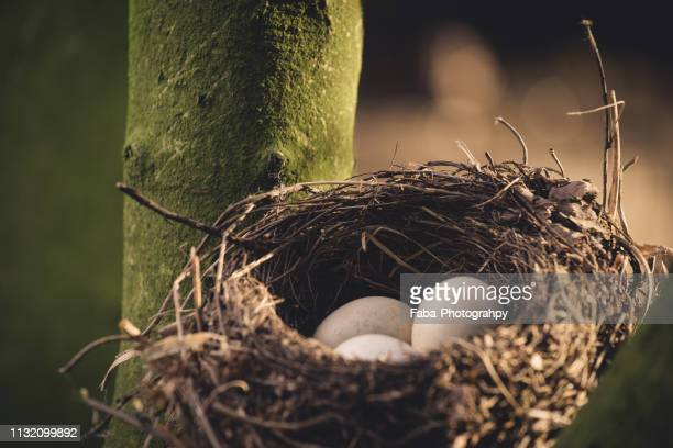 nest of birds with three eggs - wilde tiere stock pictures, royalty-free photos & images