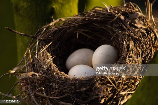 nest of birds with three eggs - baum stock pictures, royalty-free photos & images