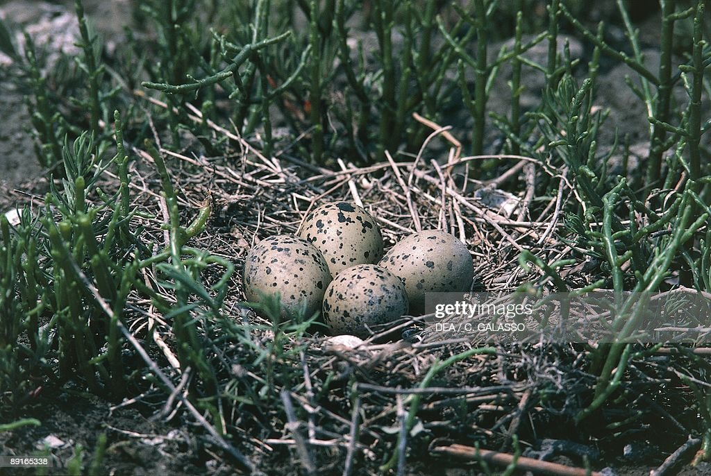 Nest of Pied Avocet (Recurvirostra avosetta) : News Photo