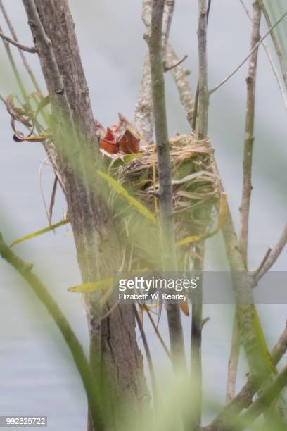 nest of red winged blackbird chicks - merel stockfoto's en -beelden