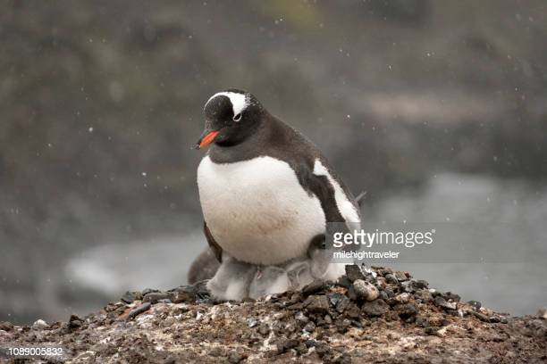 Nesting adult gentoo sits penguin chicks Aitcho Island South Shetlands Islands Antarctica