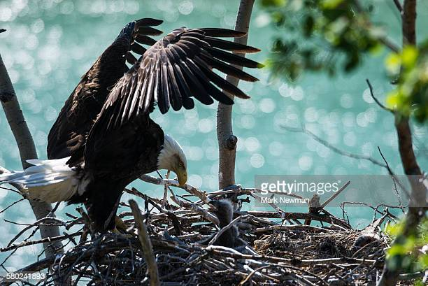 nesting bald eagle - eagle nest stock photos and pictures
