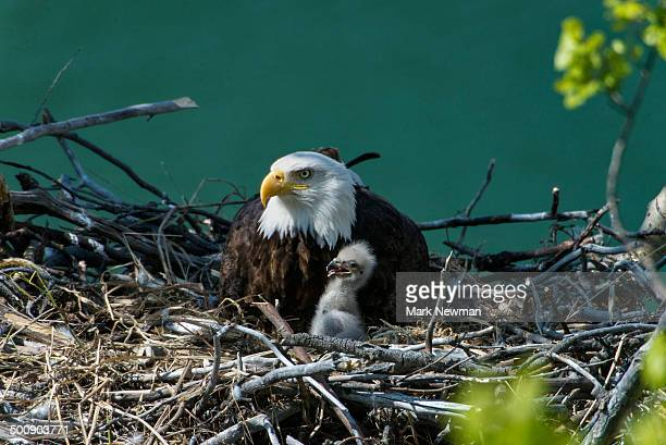 nesting bald eagle with baby - bald eagle stock pictures, royalty-free photos & images