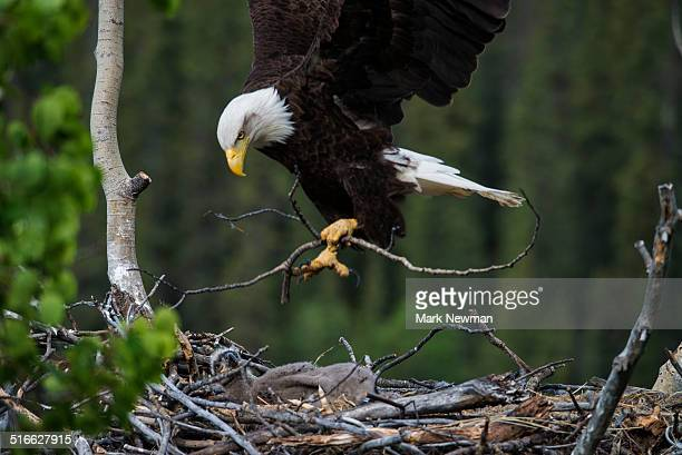 nesting bald eagles - eagle nest stock photos and pictures