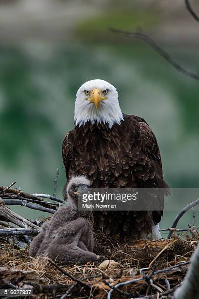 nesting bald eagles - female animal stock pictures, royalty-free photos & images