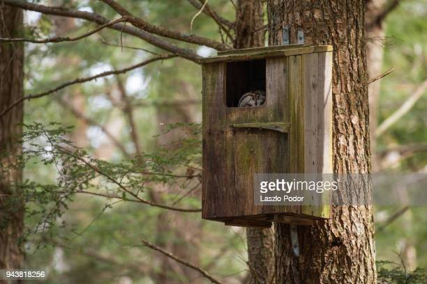 nesting barred owl - birdhouse stock photos and pictures