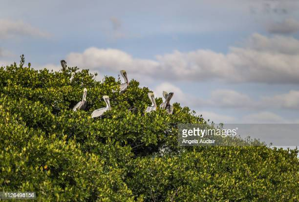 Nesting Brown Pelicans in Mangroves