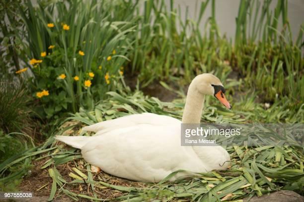 A nesting female swan
