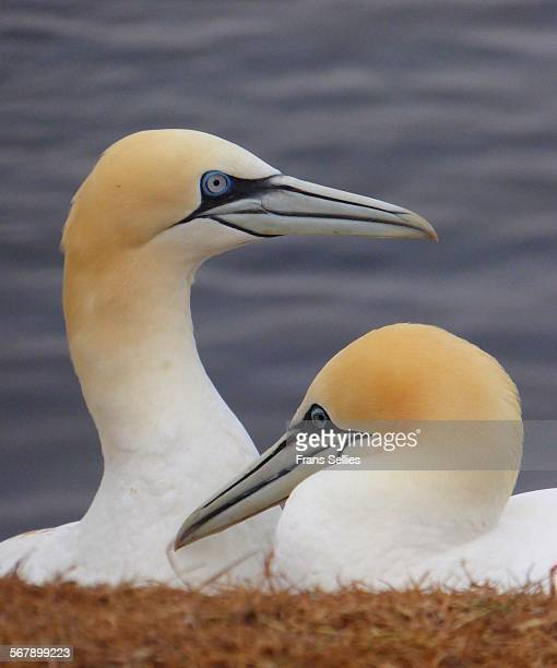 nesting gannets on helgoland, germany - frans sellies stock pictures, royalty-free photos & images
