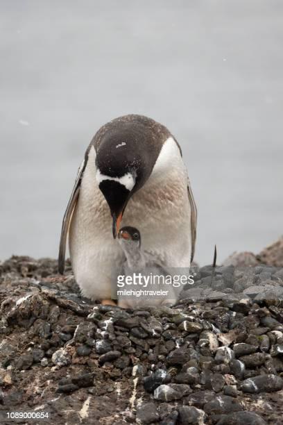 Nesting gentoo penguin feeds chick Aitcho Island South Shetlands Islands Antarctica