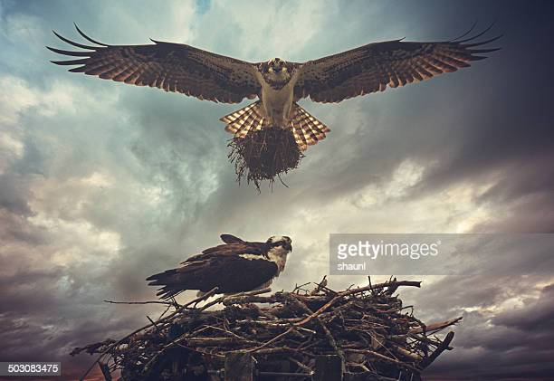nesting osprey - hawk nest stock photos and pictures