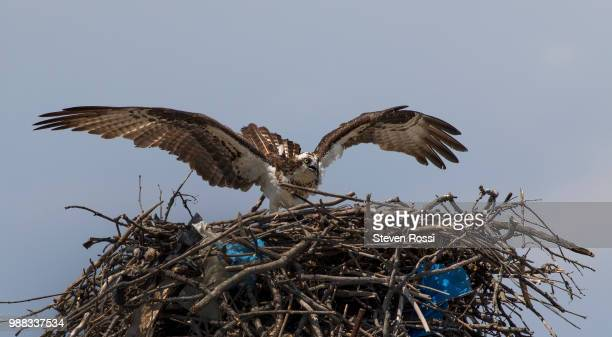 nesting - hawk nest stock photos and pictures