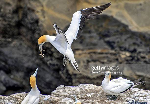 nesting time - gannet stock photos and pictures