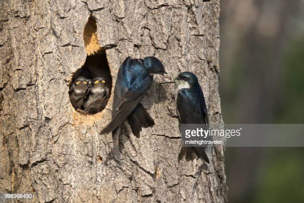 Nesting tree swallow chicks birds feeding family dragonfly Littleton Colorado